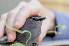 Gray Catbird permite el acariciar después de ser rescatado de una colisión foto de archivo