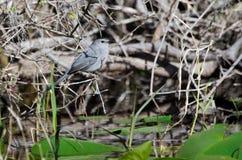 Gray Catbird, réserve de ressortissant de marais d'Okefenokee Photo libre de droits