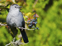 Gray Catbird Royalty Free Stock Photos