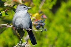Gray Catbird. Sitting on tree branch Royalty Free Stock Photo