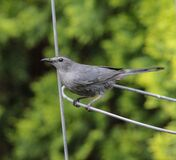Gray Catbird Standing on Metal Stake