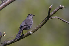 Gray Catbird. On a tree Royalty Free Stock Images