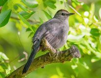 Gray catbird on a tree branch with a green bokeh background - taken at the Wood Lake Nature Center in Minnesota.  stock photography