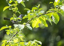 Gray Catbird & x28;Dumetella carolinensis& x29; Royalty Free Stock Images