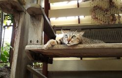 Gray cats lying on wooden floor, looking up. stock images