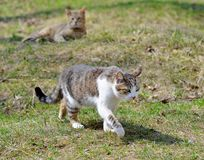 Gray cats walk on the lawn, the concept of spring.  royalty free stock photo