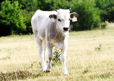 Gray cattle Stock Photos