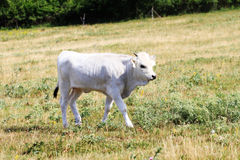 Gray cattle Stock Image