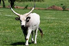 gray cattle2 Arkivbilder