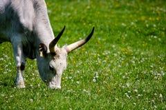 gray cattle8 Royaltyfria Bilder