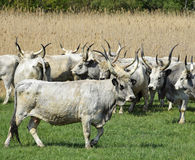Gray cattles in a group Royalty Free Stock Photos