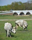 Gray cattles at Hortobagy. Hungary Royalty Free Stock Photography