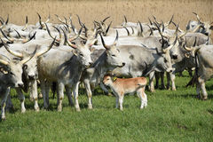 Gray cattles Stock Photography