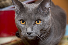 Gray Chartreux cat. Closeup of a gray cat breed Chartreux Stock Photos