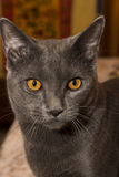Gray Chartreux-kat Stock Foto's