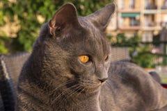 Gray Chartreux-Katze Stockfotografie