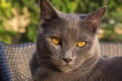 Gray Chartreux-Katze Stockbild