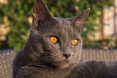 Gray Chartreux-Katze Stockbilder