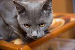 Gray Chartreux-Katze Lizenzfreie Stockbilder
