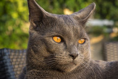 Gray Chartreux-Katze Lizenzfreies Stockfoto