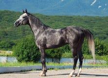 Gray che corre stallone arabo Immagini Stock
