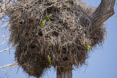 Gray Cheeked Parakeets Perched on Giant Nest Stock Photo