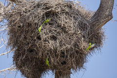 Gray Cheeked Parakeets with Compartmentalized Nest  Stock Images