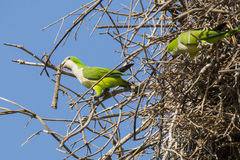 Gray Cheeked Parakeet with Large Stick on Nest Royalty Free Stock Photo