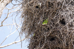 Gray Cheeked Parakeet Peeking fora do ninho imagem de stock
