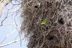 Gray Cheeked Parakeet Peeking hors de nid image stock