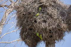 Gray Cheeked Parakeets Entering Giant Nest Royalty Free Stock Photo