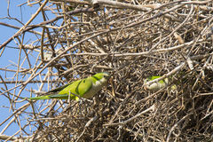 Gray Cheeked Parakeets Working Together på rede Arkivbild