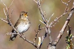 Gray-Cheeked Thrush Royalty Free Stock Photo