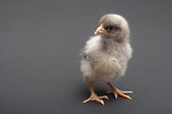 Gray chick Royalty Free Stock Image