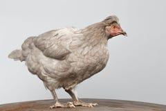 Gray Chicken Standing auf Holzfußboden, weißer Hintergrund Lizenzfreie Stockfotografie