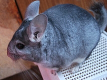 Gray chinchilla. Animal - a gray chinchilla from a genus of rodents Royalty Free Stock Image