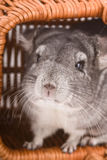 Gray chinchilla close-up Royalty Free Stock Photos