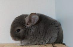 Gray Chinchilla. Cute gray chinchilla is resting Stock Photo