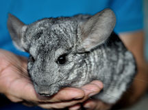 Gray chinchilla on the hands. Cute gray chinchilla on the man hands Royalty Free Stock Photos