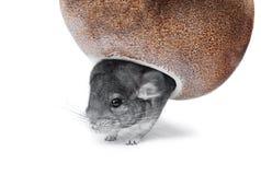 Gray chinchilla hiding in hole royalty free stock image