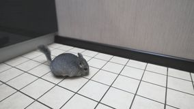 Gray chinchilla plays on white tile in kitchen stock video footage
