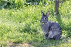 Gray chinchilla rabbit. A cute, gray rabbit in a garden stock photo