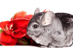 Gray chinchilla with red flower. Small cute gray chinchilla with red flower on white background Stock Image