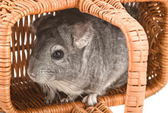 Gray chinchilla sitting in a basket. Close-up Stock Photography