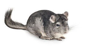 Gray chinchilla on white Stock Image