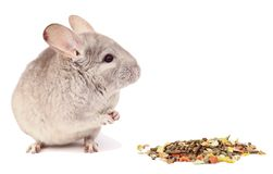 Gray chinchilla on white background, funny animal, chinchilla. Beautiful light gray chinchilla on white background, chinchilla on white background, cute homemade royalty free stock photography