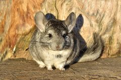 The Gray Chinchilla on a wood background outdoor Royalty Free Stock Image