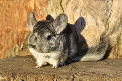 The Gray Chinchilla on a wood background outdoor Royalty Free Stock Images