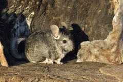 The Gray Chinchilla on a wood background outdoor Stock Images