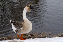 Gray Chinese Goose on River Bank Stock Photos